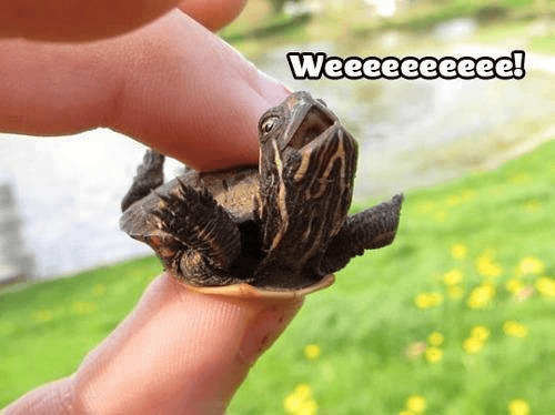 Too-Cute-Turtle